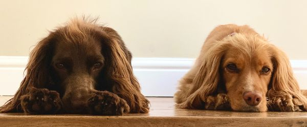 Touring Tales Reading Buddies - two working cocker spaniels