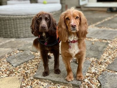 Q&A Touring Tales - Poppy and Coco, working cocker spaniels.